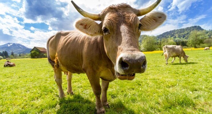Spinach versus Cow Dung Short Story